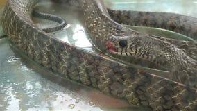 Φίδι σε μια δεξαμενή απόθεμα βίντεο