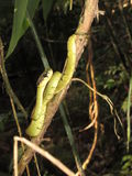 Φίδι Σρι Λάνκα στοκ φωτογραφία