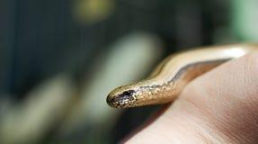 Φίδι στη διάθεση Στοκ Φωτογραφία