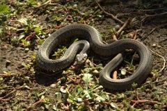 Φίδι στον ήλιο Στοκ φωτογραφία με δικαίωμα ελεύθερης χρήσης