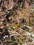 Φίδι στο έλος Aukstumalos, Λιθουανία Στοκ Εικόνα