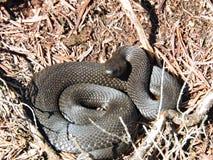 Φίδι στο έλος Aukstumalos, Λιθουανία Στοκ εικόνες με δικαίωμα ελεύθερης χρήσης