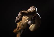 Φίδι στο μαύρο υπόβαθρο Στοκ Εικόνα