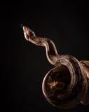 Φίδι στο μαύρο υπόβαθρο Στοκ Φωτογραφία