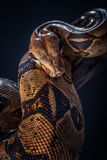 Φίδι στο μαύρο υπόβαθρο Στοκ Εικόνες