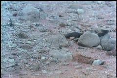 Φίδι του Blake που σέρνεται πέρα από τη δύσκολη έκταση απόθεμα βίντεο