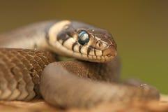 Φίδι χλόης Στοκ Εικόνες