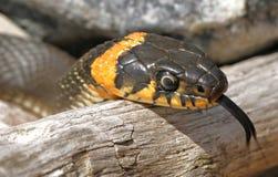 Φίδι χλόης Στοκ Φωτογραφία