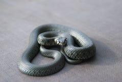 Φίδι χλόης Στοκ Φωτογραφίες