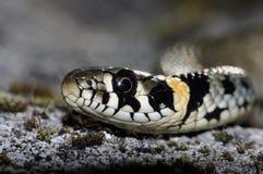 Φίδι χλόης (Natrix natrix) Στοκ Φωτογραφία