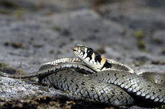 Φίδι χλόης (Natrix natrix) Στοκ Εικόνα