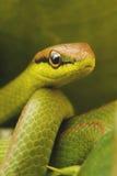 Φίδι Στοκ Εικόνες
