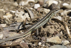 Φίδι-eyed Lacertid στοκ φωτογραφία