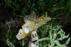 Φίδι Natrix Maura Alpedrete, Μαδρίτη, Ισπανία Στοκ φωτογραφίες με δικαίωμα ελεύθερης χρήσης