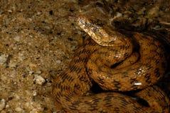 Φίδι Natrix Maura Alpedrete, Μαδρίτη, Ισπανία Στοκ εικόνες με δικαίωμα ελεύθερης χρήσης