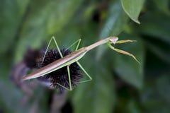 φαίνεται mantis προσευμένος σ& Στοκ φωτογραφία με δικαίωμα ελεύθερης χρήσης