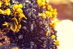 Φαγώσιμα μύδια σε μια παραλία και μια θάλασσα, κοχύλια Στοκ φωτογραφία με δικαίωμα ελεύθερης χρήσης