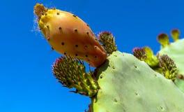 Φαγώσιμος κάκτος της ηλιόλουστης Κύπρου στο υπόβαθρο του βαθιού μπλε SU στοκ εικόνες με δικαίωμα ελεύθερης χρήσης
