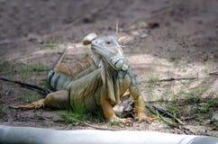 Φακών καφετής άγριος δράκος Iguana ζουμ τέλειος στοκ εικόνες