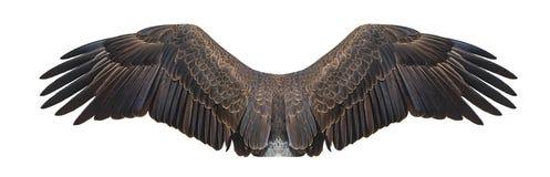 Φαλακρά φτερά αετών που απομονώνονται στο λευκό στοκ εικόνες