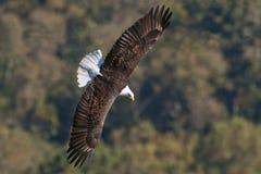Φαλακρή ανύψωση αετών Στοκ εικόνα με δικαίωμα ελεύθερης χρήσης