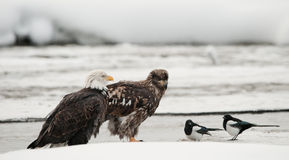 φαλακρή κίσσα leucocephalus haliaeetus αετών στοκ φωτογραφίες