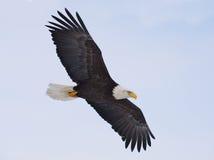 φαλακρή πτήση αετών Στοκ Εικόνες