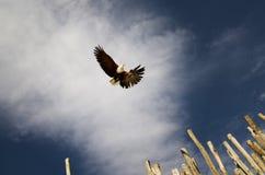 φαλακρή πτήση αετών Στοκ Εικόνα