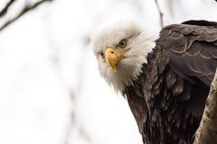 Φαλακρή συνεδρίαση αετών σε ένα δέντρο που κοιτάζει κάτω στοκ φωτογραφία