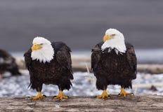 φαλακροί αετοί Στοκ Φωτογραφία
