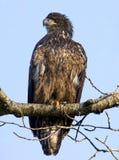 φαλακρός αετός ανώριμος Στοκ Φωτογραφίες