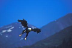 φαλακρός αετός ορμώντας Στοκ Εικόνα