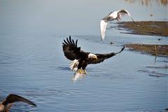 Φαλακρός αετός που αρχίζει να προσγειώνεται στα shallowes στοκ εικόνες