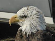 Φαλακρός αετός που εξετάζει έξω τον κόσμο στοκ εικόνα