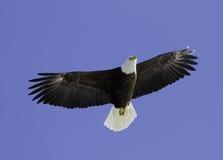Φαλακρός αετός που πετά στα ύψη από πάνω. Στοκ Εικόνα