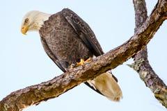 Φαλακρός αετός που σκαρφαλώνει σε έναν κλάδο δέντρων Στοκ Φωτογραφία