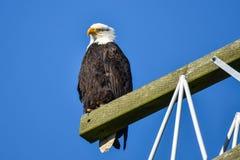 Φαλακρός αετός που σκαρφαλώνει σε έναν πόλο δύναμης στοκ φωτογραφίες