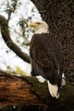 Φαλακρός αετός που σκαρφαλώνει σε ένα κούτσουρο στοκ εικόνα με δικαίωμα ελεύθερης χρήσης