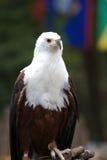 φαλακρός αετός σκαρφαλ&ome στοκ εικόνες