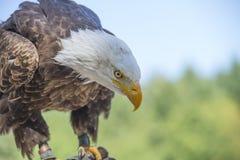 Φαλακρός αετός στη φύση Στοκ φωτογραφίες με δικαίωμα ελεύθερης χρήσης