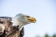 Φαλακρός αετός στη φύση Στοκ εικόνες με δικαίωμα ελεύθερης χρήσης