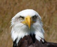 φαλακρός αετός Στοκ Φωτογραφίες