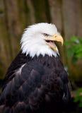 φαλακρός αετός Στοκ εικόνες με δικαίωμα ελεύθερης χρήσης