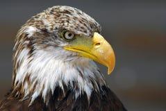 φαλακρός αετός Στοκ Φωτογραφία