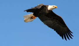 φαλακρός αετός Στοκ Εικόνα