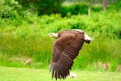 φαλακρός αετός 5 Στοκ εικόνα με δικαίωμα ελεύθερης χρήσης