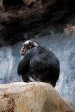 φαλακρό αρσενικό χιμπατζή&del Στοκ Φωτογραφία