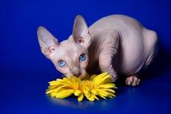 Φαλακρό γατάκι sphinx στοκ εικόνα