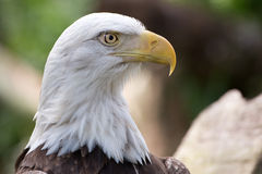 Φαλακρό επικεφαλής πλάνο αετών Στοκ εικόνα με δικαίωμα ελεύθερης χρήσης
