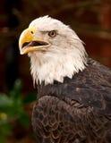 φαλακρό κεφάλι αετών Στοκ εικόνες με δικαίωμα ελεύθερης χρήσης